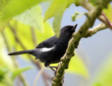 White-sided Flowerpiercer - Diglossa albilatera