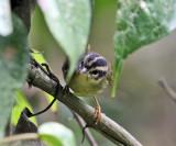 Three-striped Warbler - Basileuterus tristriatus