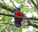 Golden-headed Quetzal - Pharomachrus auriceps