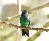 Western Emerald - Chlorostilbon melanorhynchus