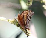 Dione Mapwing - Hypanartia dione