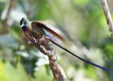 Violet-tailed Sylph - Aglaiocercus coelestis
