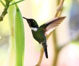 Wedge-billed Hummingbird - Schistes geoffroyi