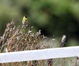 Hooded Siskin - Carduelis magellanica