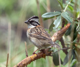 Rufous-collared Sparrow - Zonotrichia capensis