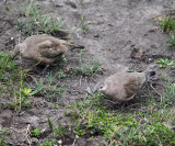 Black-winged Ground Dove - Metriopelia melanoptera