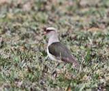 Andean Lapwing - Vanellus resplendens