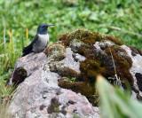 Ecuadorian Hillstar - Oreotrochilus chimborazo