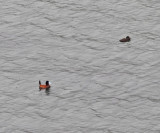 Andean Ruddy Duck - Oxyura ferruginea