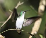 Andean Emerald - Amazilia franciae