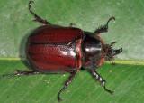 Rhinoceros Beetle - Heterogomphus sp.