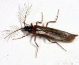 Glow Worm Beetle - Phengodidae - Pseudophengodes sp.