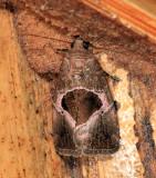 Elaphria deltoides