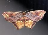Eois angulata