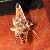 Syngamilyta apicolor
