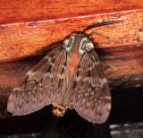 Hemihyalea cf. watkinsii