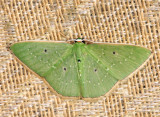 Phrudocentra sp.