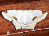 Sericoptera mahometaria