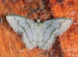 Chloropteryx sp.
