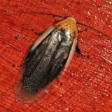 Panchlorinae