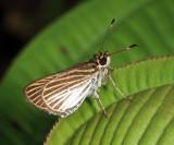 Delicate Skipper - Apaustus gracilis