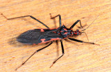 Ecuador Assassin Bugs
