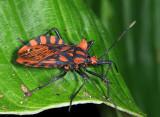 Coreidae - Spartocerini - Spartocera pantomima
