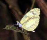 Zathoe Mimic White - Dismorphia zathoe