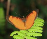 Apricot Crescent - Tegosa claudina