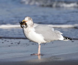 Herring Gull - Larus argentatus (eating a crab)