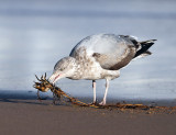 Herring Gull - Larus argentatus (catching a crab tangled in seaweed)