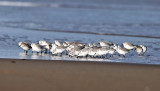 Sanderling and Dunlin feeding at the surf edge