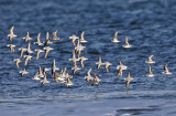 Sanderling and Dunlin in flight