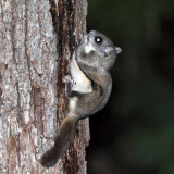 Southern Flying Squirrel - Glaucomys volans