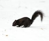 black Eastern Gray Squirrel - Sciurus carolinensis (melanistic)