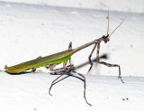Texas Unicorn Mantis - Phyllovates chlorophaea