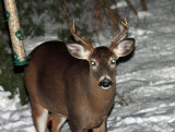 White-tailed Deer - Odocoileus virginianus