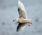 Iceland Gull - Larus glaucoides