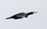 Great Cormorant - Phalacrocorax carbo (covered with ice)