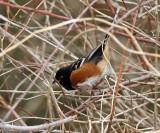Spotted Towhee - Pipilo maculatus