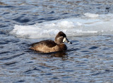 Ring-necked Duck - Aythya collaris (female)