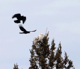Snowy Owl - Bubo scandiacus (harassed by crows)