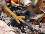 Masked Shrew - Sorex cinereus