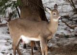 White-tailed Deer - Odocoileus virginianus (pregnant)