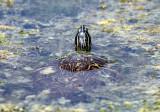 Florida Cooter - Pseudemys floridana