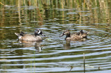 Blue-winged Teal - Anas discors (male & female)