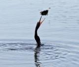 Anhinga - Anhinga anhinga (flipping the fish into the air)