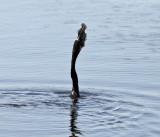 Anhinga - Anhinga anhinga (catches fish head first and swallows it whole)