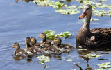 Mottled Duck - Anas fulvigula (with chicks)