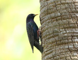 European Starling - Sturnus vulgaris (taking over an newly excavated Red-bellied Woodpecker hole)